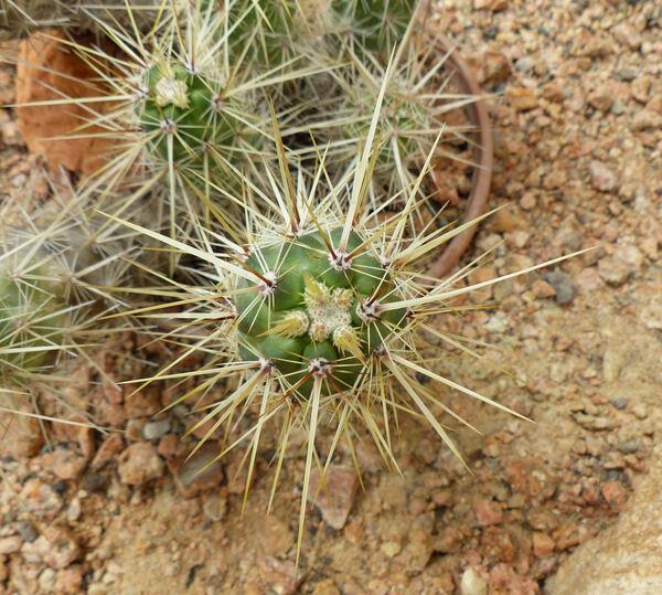 Echinocereus barthelowanus Britton & Rose