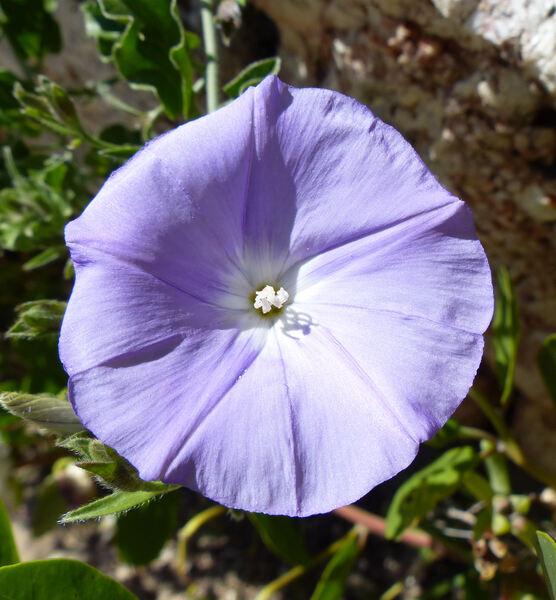 Convolvulus sabatius Viv. subsp. sabatius