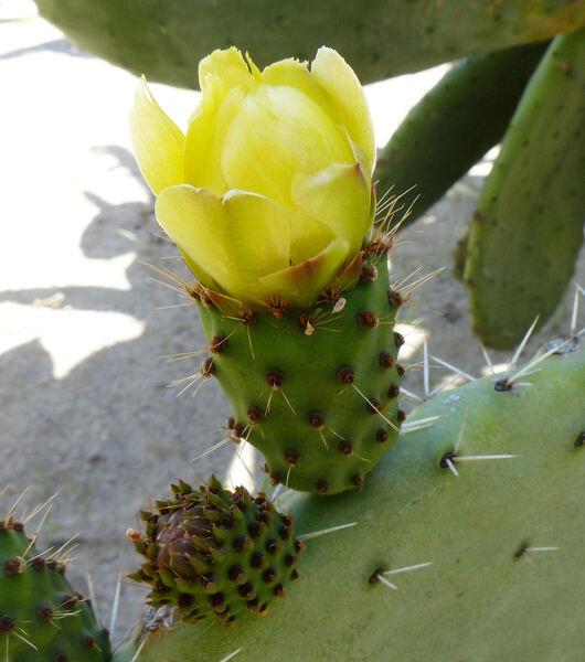 Opuntia amyclaea Ten.