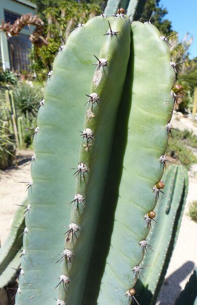 Cereus hildmannianus K.Schum.