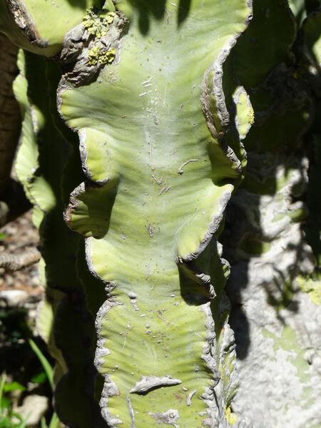 Euphorbia abyssinica J. F. Gmel.