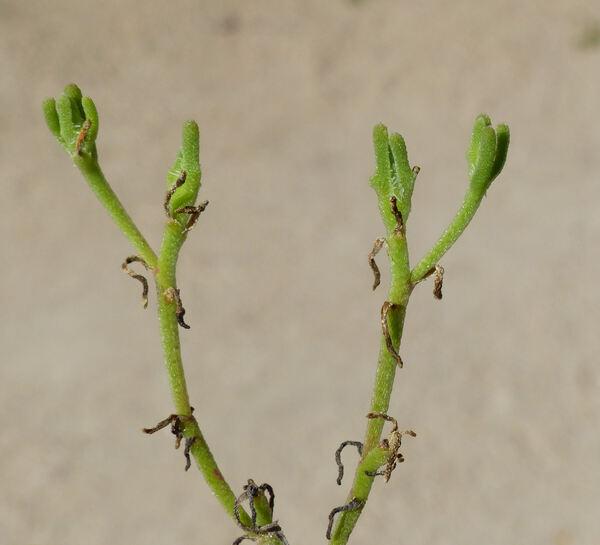 Mesembryanthemum nodiflorum L.