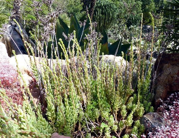 Petrosedum sediforme (Jacq.) Grulich subsp. sediforme