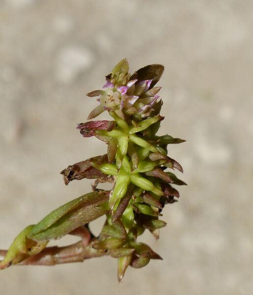 Phedimus stellatus (L.) Raf.