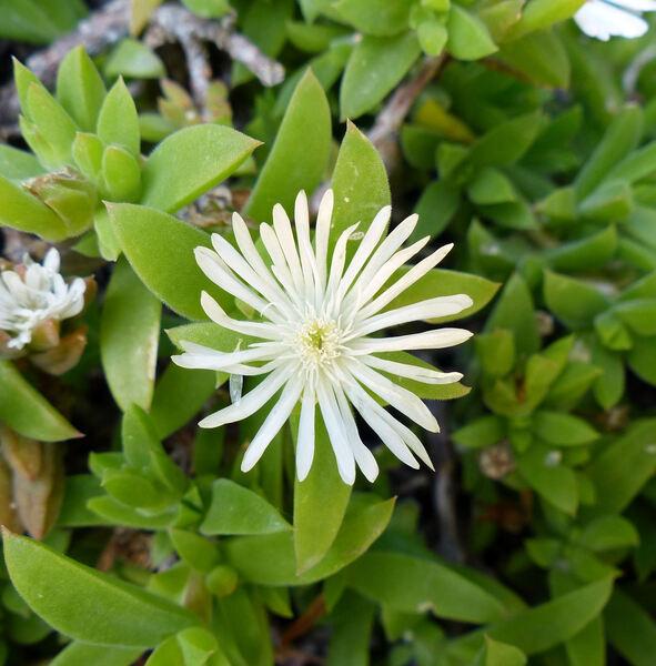 Delosperma lehmannii (Eckl. & Zeyh.) Schwantes ex H.Jacobsen