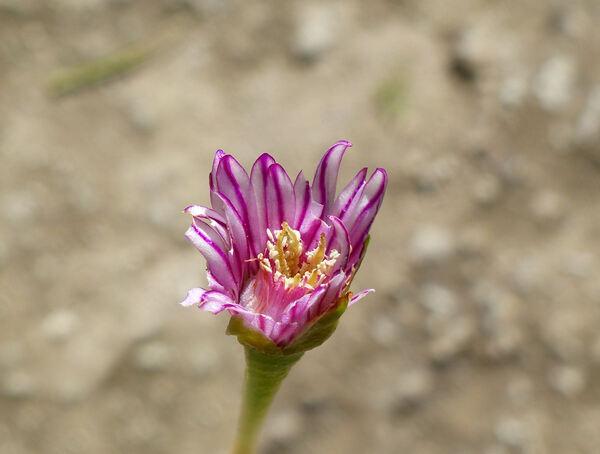 Ruschia caroli (L.Bolus) Schwantes