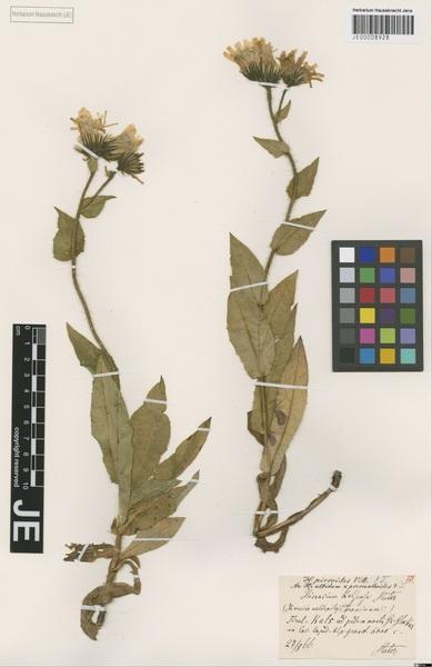 Hieracium kalsianum Huter subsp. kalsianum