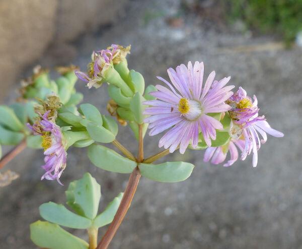 Lampranthus deltoides (L.) Glen ex Wijnands