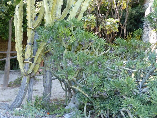 Kleinia neriifolia Haw.