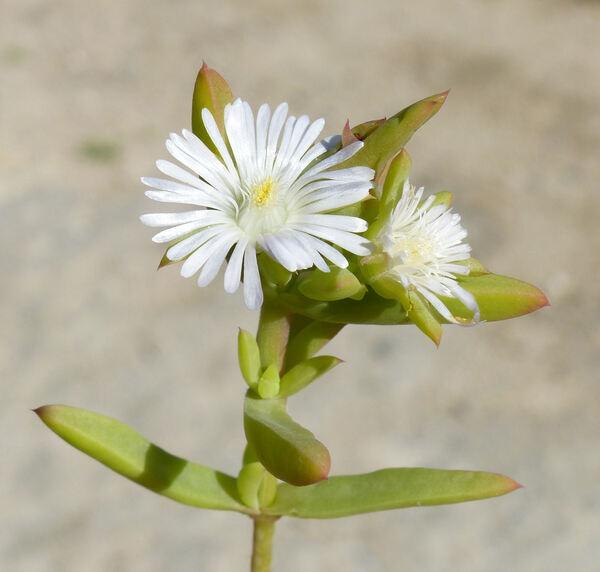 Delosperma subincanum (Haw.) Schwantes