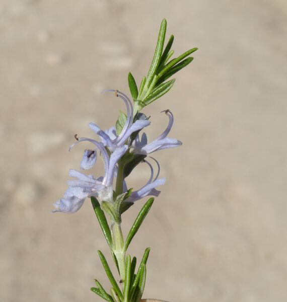 Salvia rosmarinus Spenn. 'Repens'