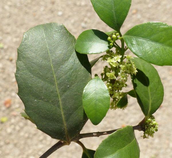 Elaeodendron croceum (Thunb.) DC.