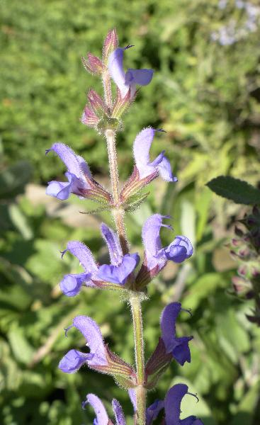Salvia virgata Jacq.