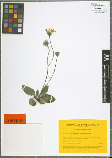 Hieracium marchesonii Gottschl.