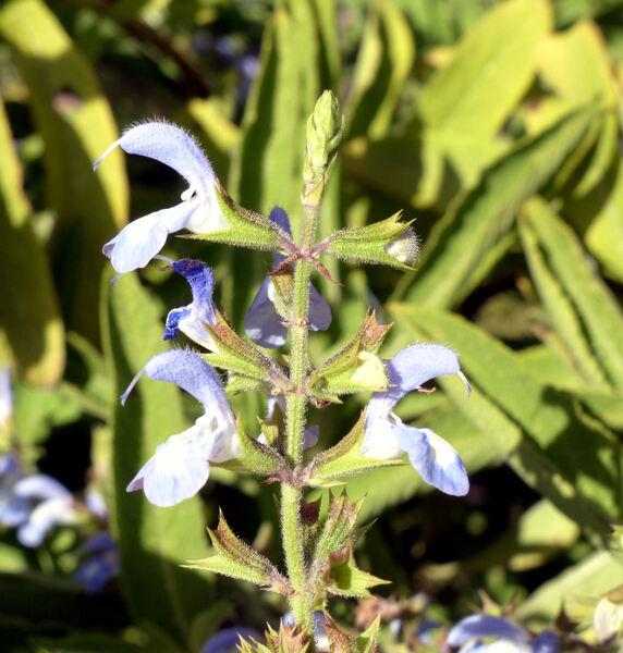 Salvia somalensis Vatke