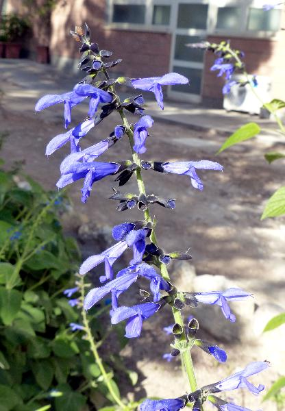 Salvia guaranitica A.St.-Hil. ex Benth.
