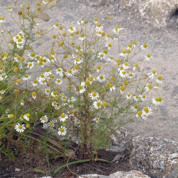 Matricaria chamomilla L.