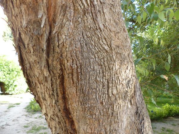 Eucalyptus gomphocephala DC.