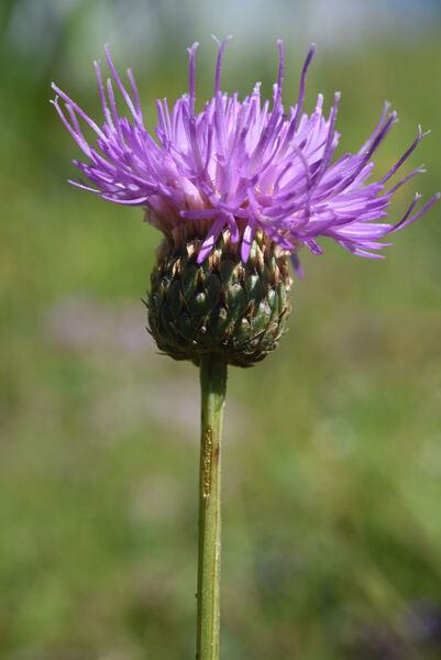 Klasea nudicaulis (L.) Fourr.