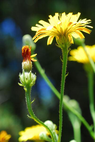 Picris hieracioides L. subsp. umbellata (Schrank) Ces.
