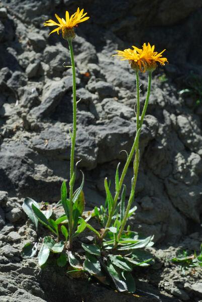 Senecio doronicum (L.) L. subsp. orientalis J.Calvo