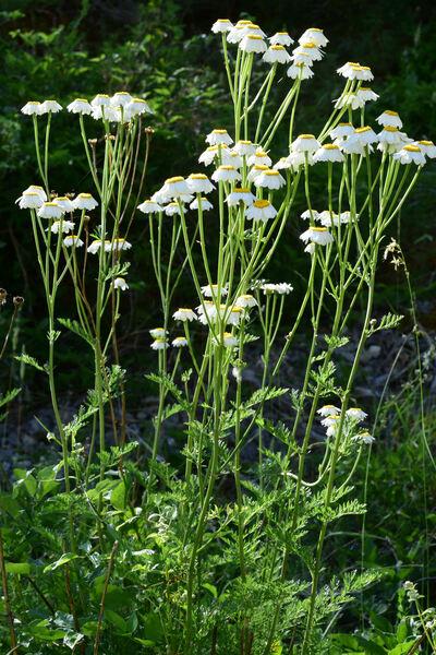 Tanacetum corymbosum (L.) Sch.Bip. subsp. achilleae (L.) Greuter