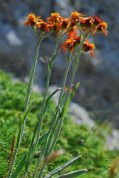 Tephroseris integrifolia (L.) Holub subsp. capitata (Wahlenb.) B.Nord.