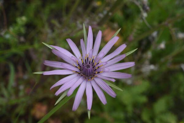 Tragopogon eriospermus Ten.