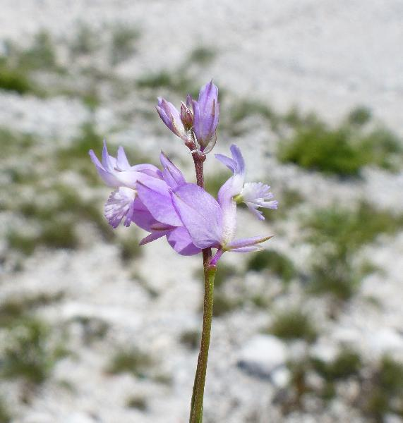 Polygala forojulensis A.Kern. subsp. forojulensis