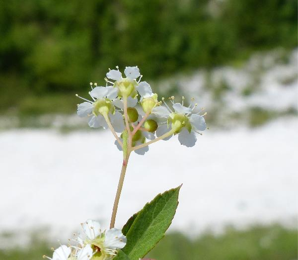 Spiraea decumbens W.D.J.Koch subsp. decumbens