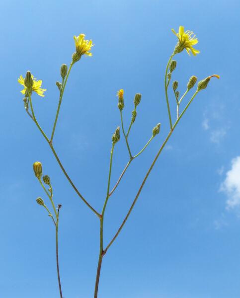 Pilosella piloselloides (Vill.) Soják