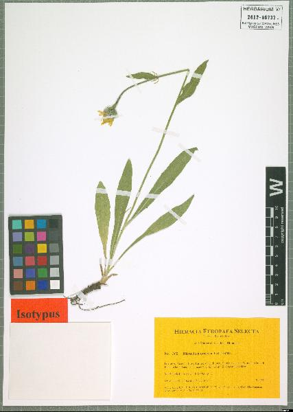 Hieracium orsierae Gottschl.
