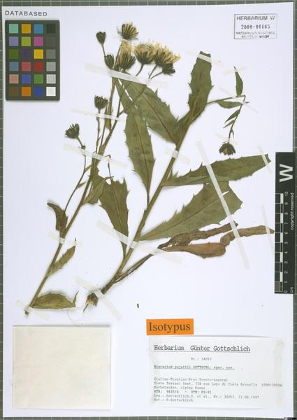Hieracium pujattii Gottschl.