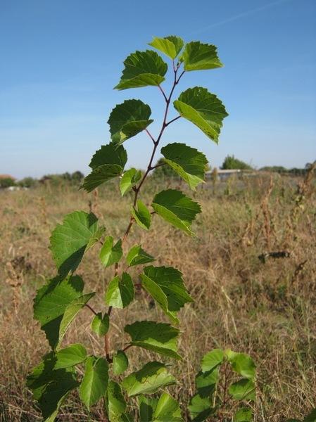 Vitis ×instabilis Ardenghi, Galasso, Banfi & Lastrucci