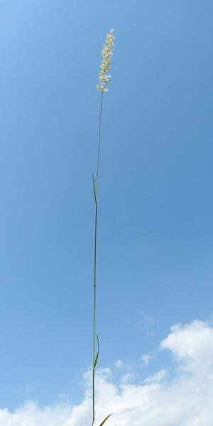 Koeleria australis A.Kern.