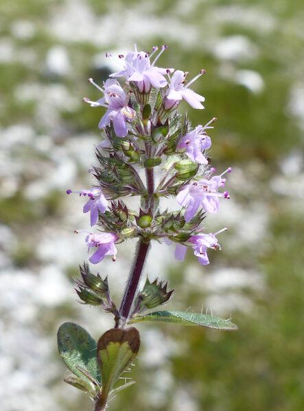 Thymus longicaulis C.Presl subsp. longicaulis