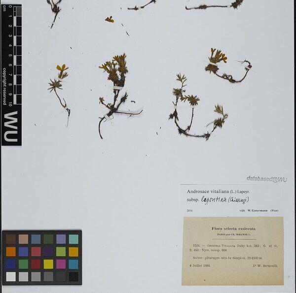 Androsace vitaliana (L.) Lapeyr. subsp. lepontina (Chiarugi) Dixon, Gutermann & Schneew.