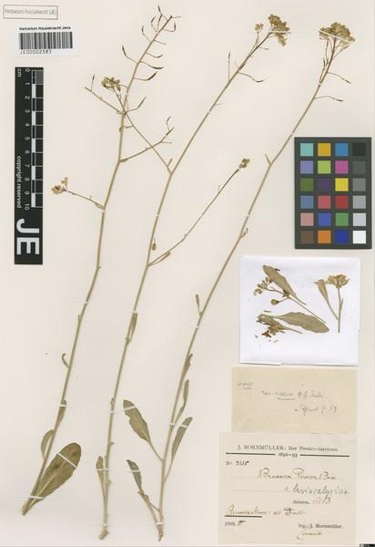 Brassica elongata Ehrh. subsp. elongata