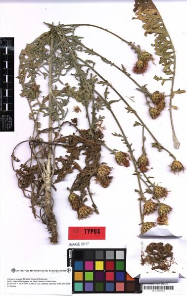 Centaurea aegusae Domina, Greuter & Raimondo