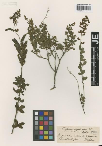 Cytisus nigricans L. subsp. atratus (Schur) Nyman