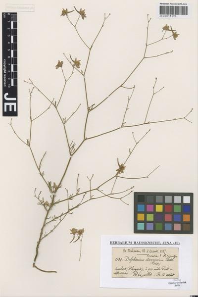 Delphinium consolida L. subsp. paniculatum (Host) N.Busch