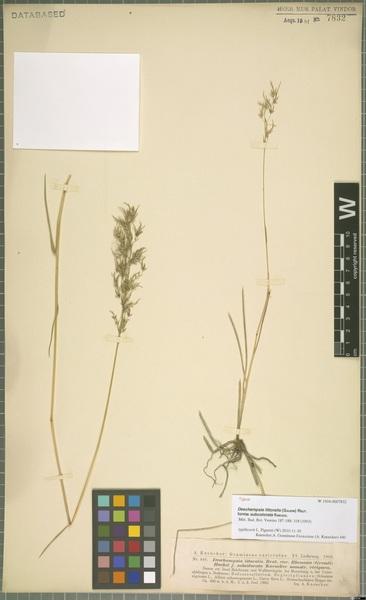 Deschampsia cespitosa (L.) P.Beauv. subsp. littoralis (Gaudin) K.Richt.