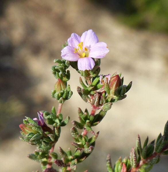 Frankenia laevis L. subsp. laevis