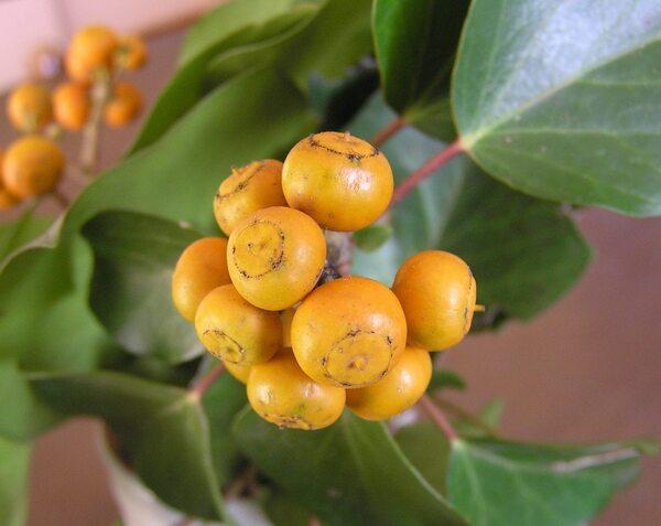 Hedera helix L. subsp. pöetarum (Bertol.) Nyman