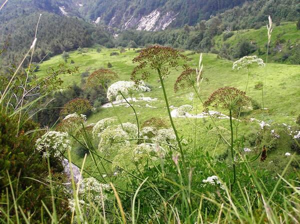 Siler montanum Crantz