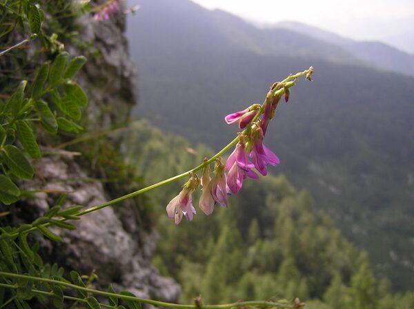 Hedysarum hedysaroides (L.) Schinz & Thell. subsp. exaltatum (A.Kern.) Chrtková