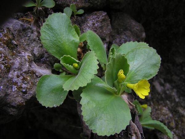 Primula auricula L. subsp. ciliata (Moretti) Lüdi