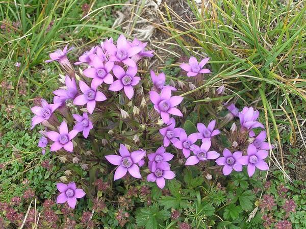 Gentianella pilosa (Wettst.) Holub