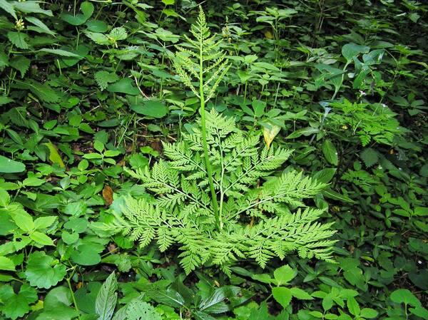 Botrypus virginianus (L.) Michx.
