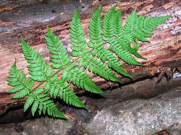 Dryopteris carthusiana (Vill.) H.P.Fuchs